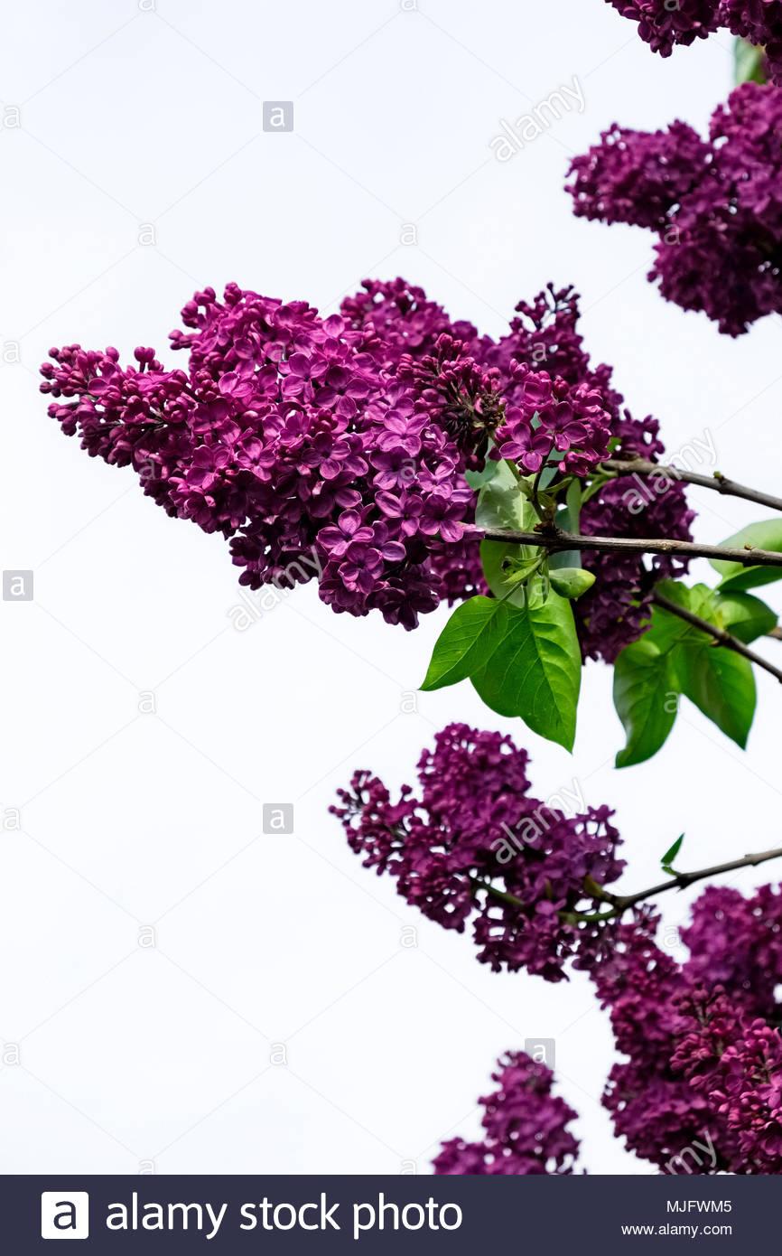 Common purple lilac, Syringa vulgaris Stock Photo