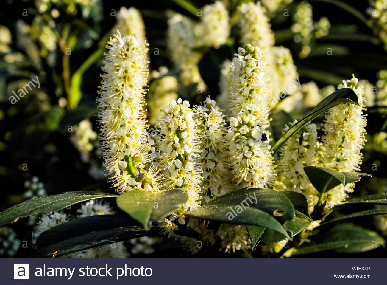 New growth in springtime on Kirschlorbeer, or cherry laurel, Prunus laurocerasus - Stock Image