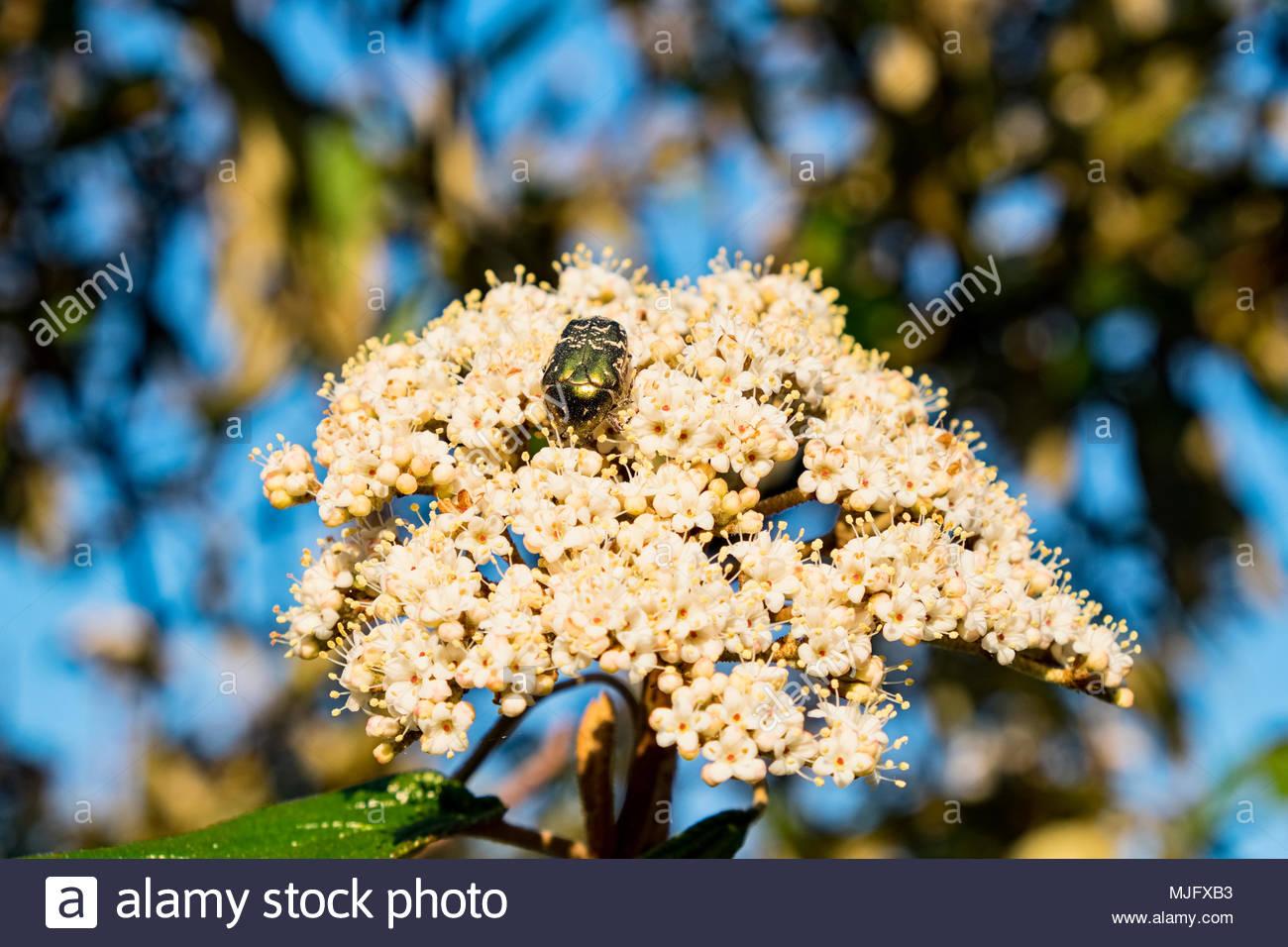 Cetonia aurata beetle feasts on freshly opened flowers of Viburnum rhytidophyllum, an evergreen shrub commonly called leatherleaf virbunum. - Stock Image