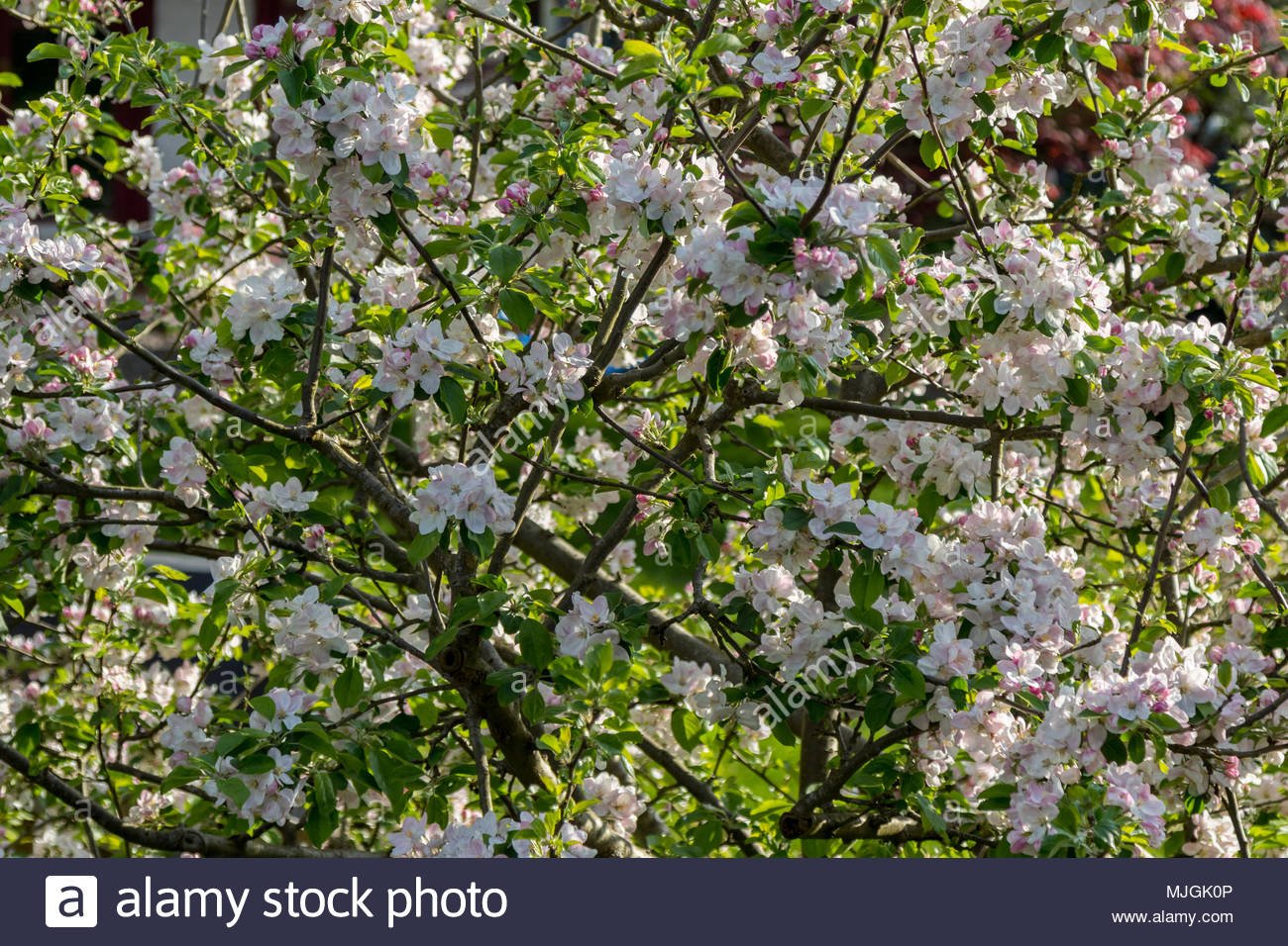 A mass of blossom on a Cornish Gilliflower apple tree(Malus domestica). A Victorian era variety used by the RHS as a tasting reference. - Stock Image