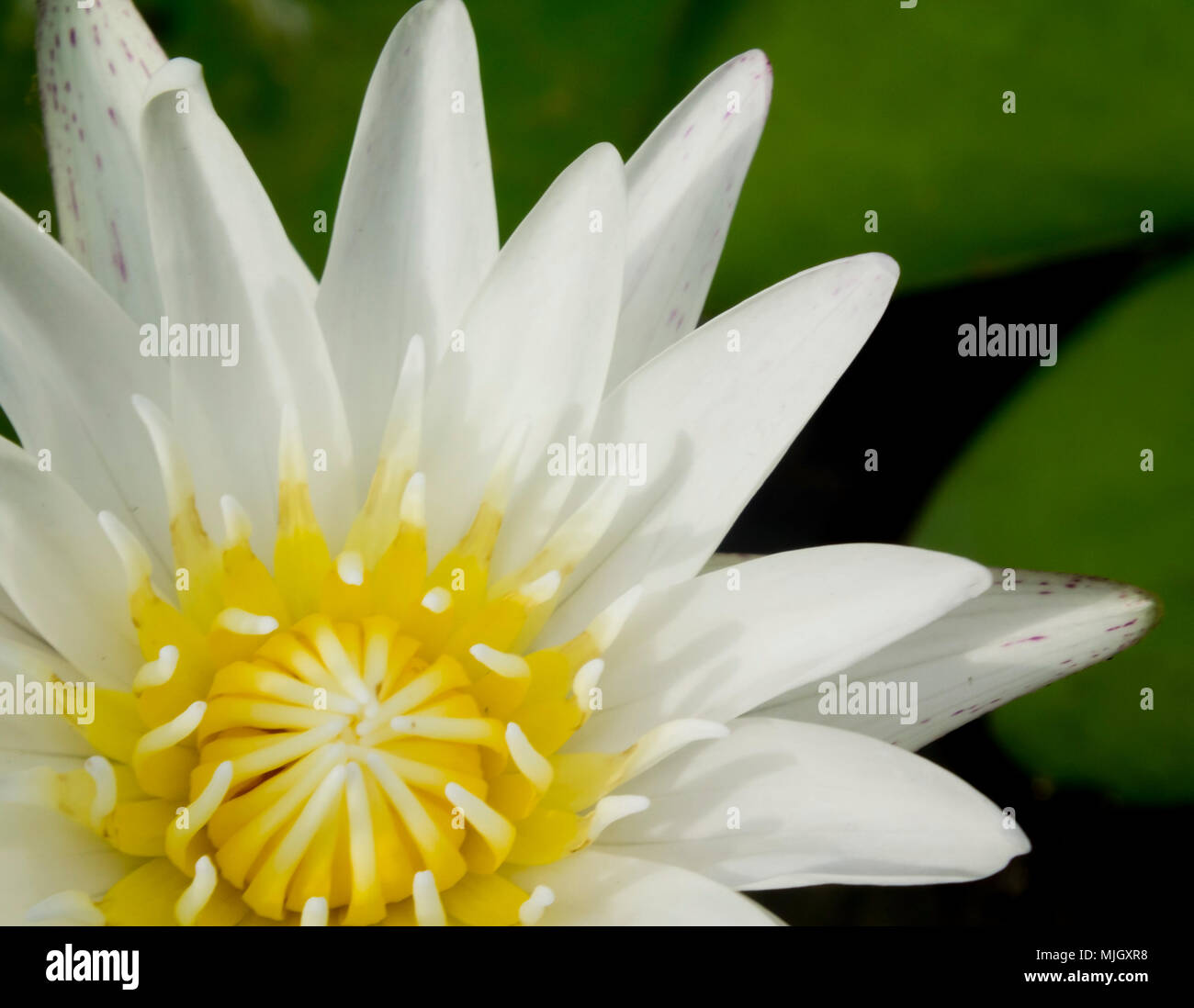 White lotus blossoms or water lily flowers blooming on pond stock white lotus blossoms or water lily flowers blooming on pond izmirmasajfo