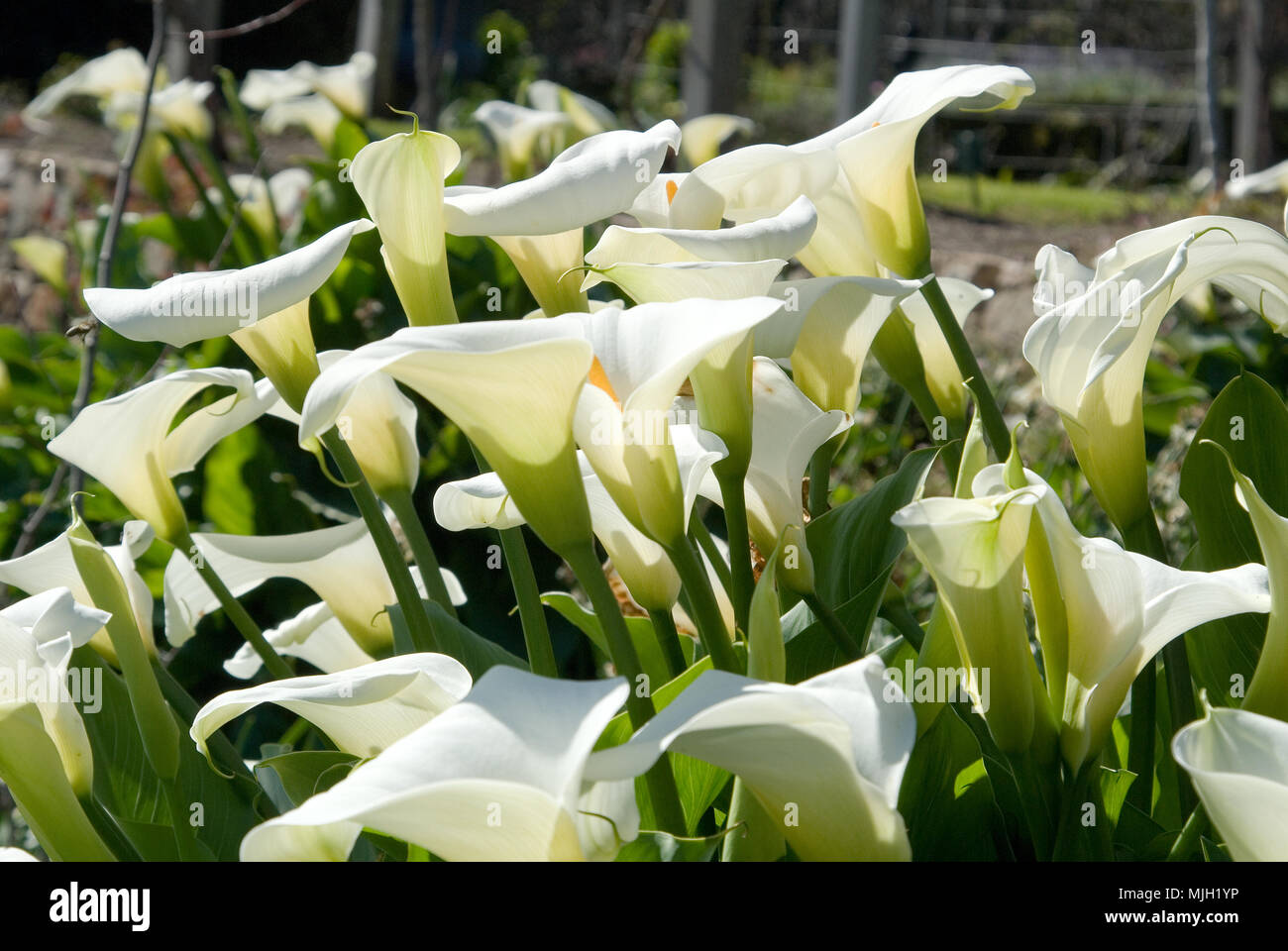 Zantedeschia aethiopica (known as calla lily and arum lily) is a species in the family Araceae - Stock Image
