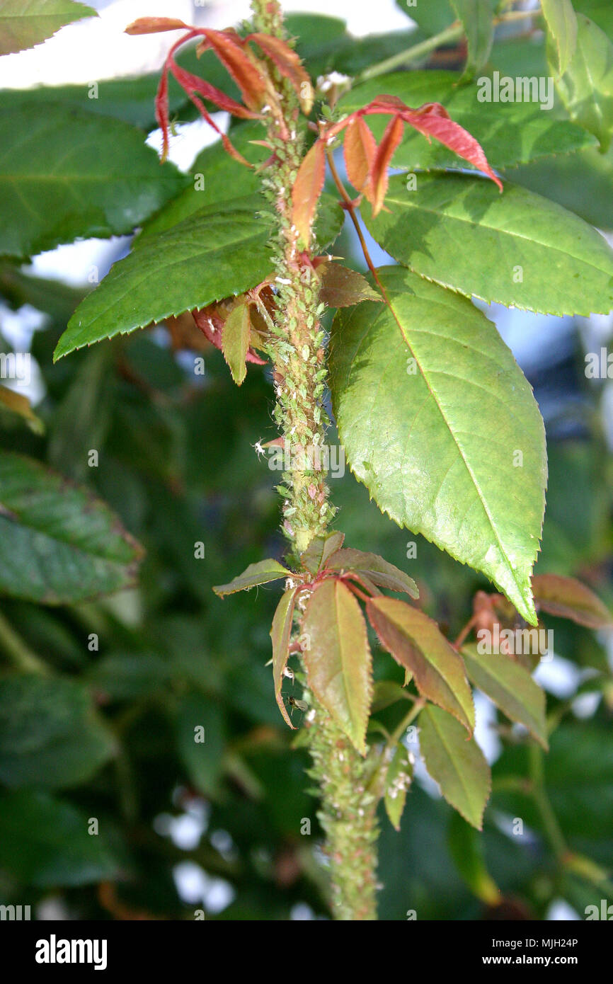 Aphids on Rose (Rosa) bush - Stock Image