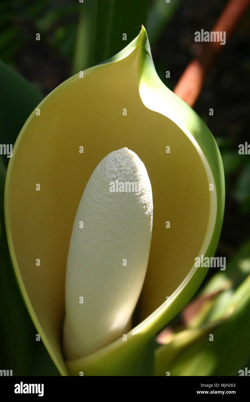 Fruit of the plant Monstera deliciosa - Stock Image