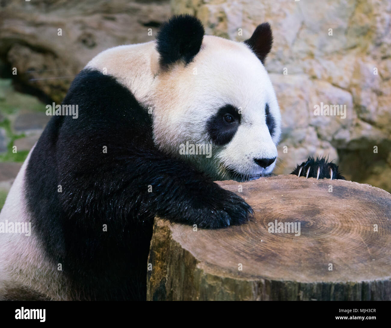 Giant panda bear close-up with paw on a tree stump and visible claws - Stock Image