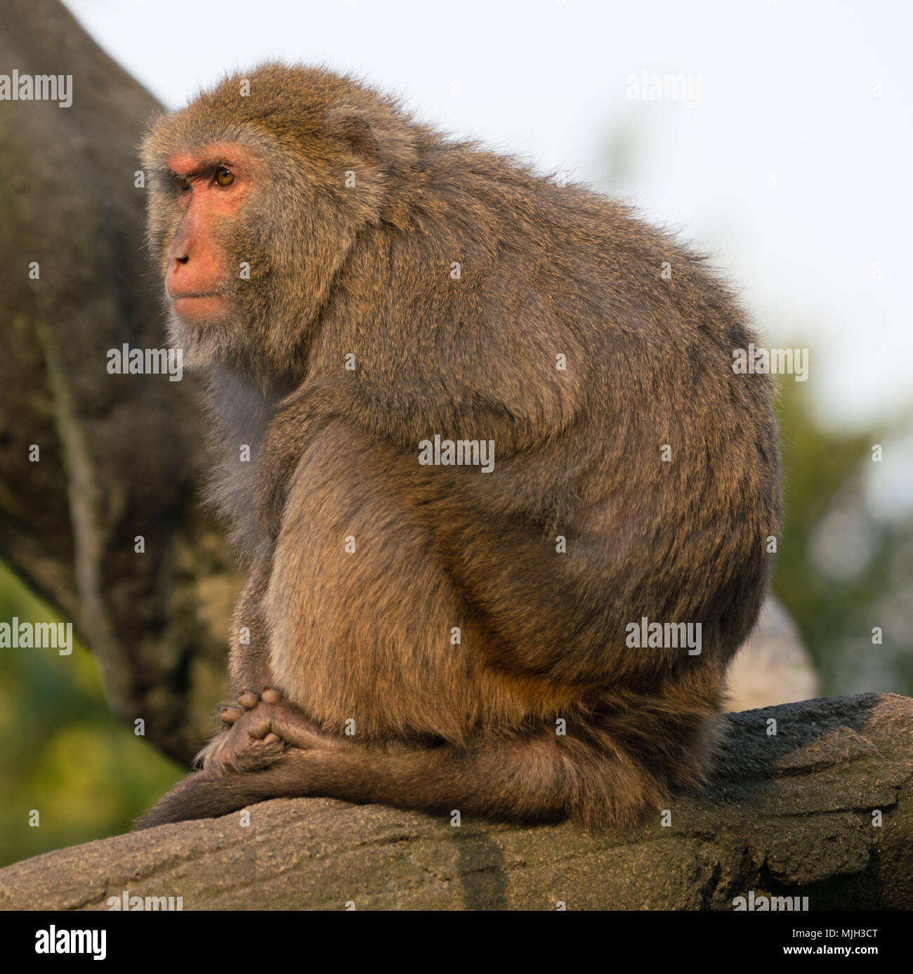 Taiwanese Formosan rock macaque monkey looking at sunset - Stock Image