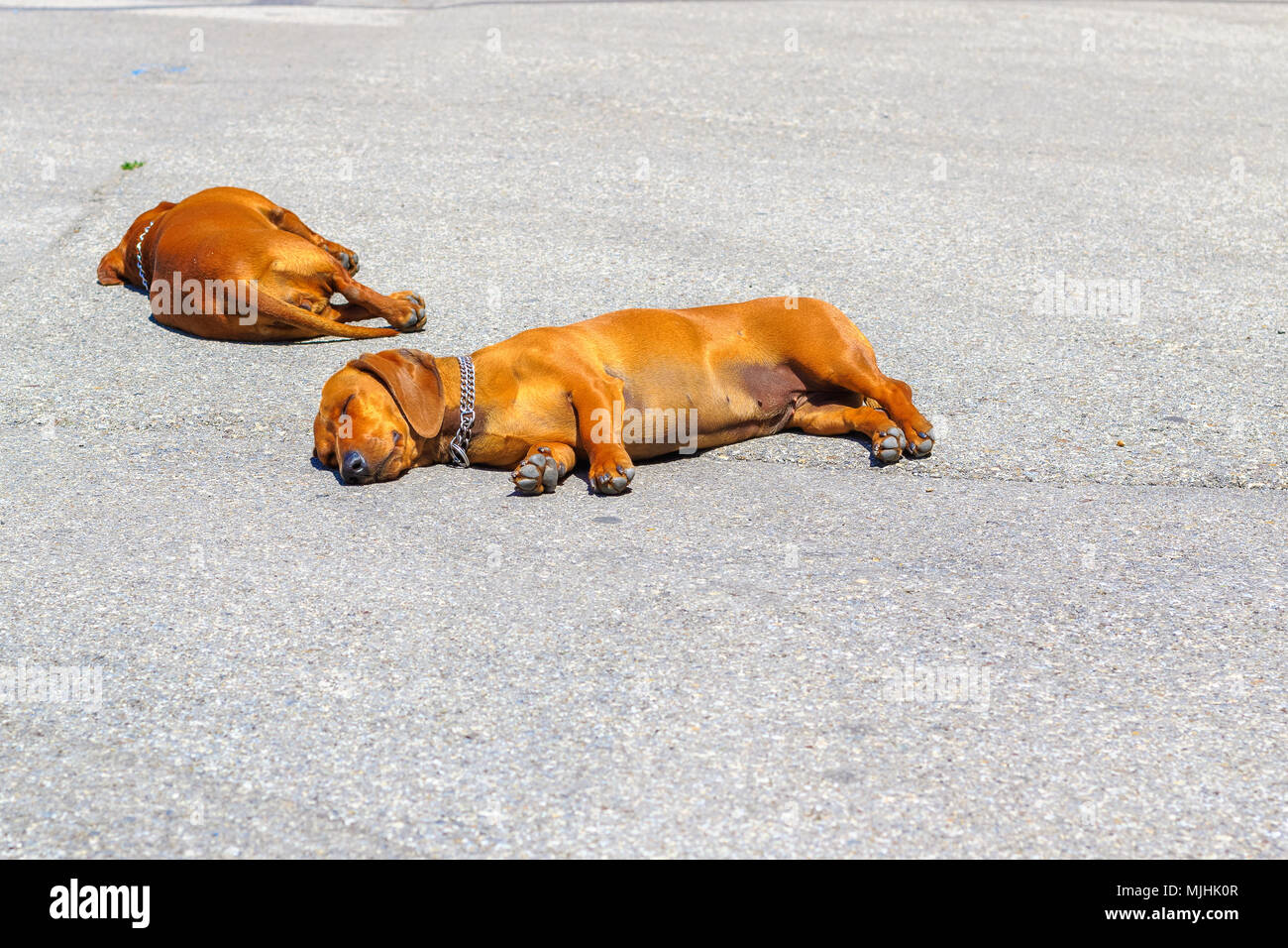 Two dachshund dogs sleep on a tarmac street in hot weather in Pisa, Italy - Stock Image