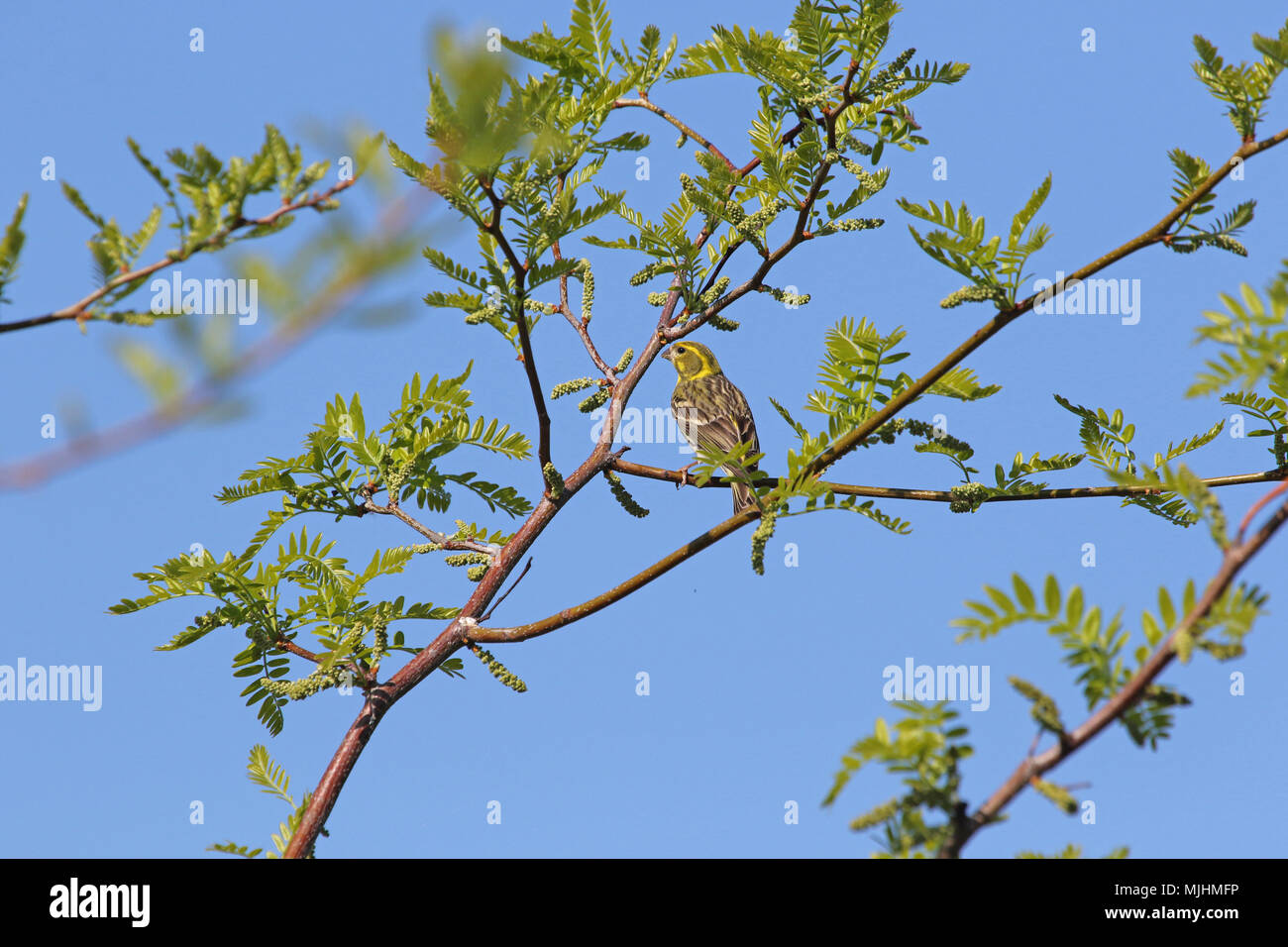 serin bird Latin name serinus serinus feeding on buds in an acacia tree in spring in Italy - Stock Image