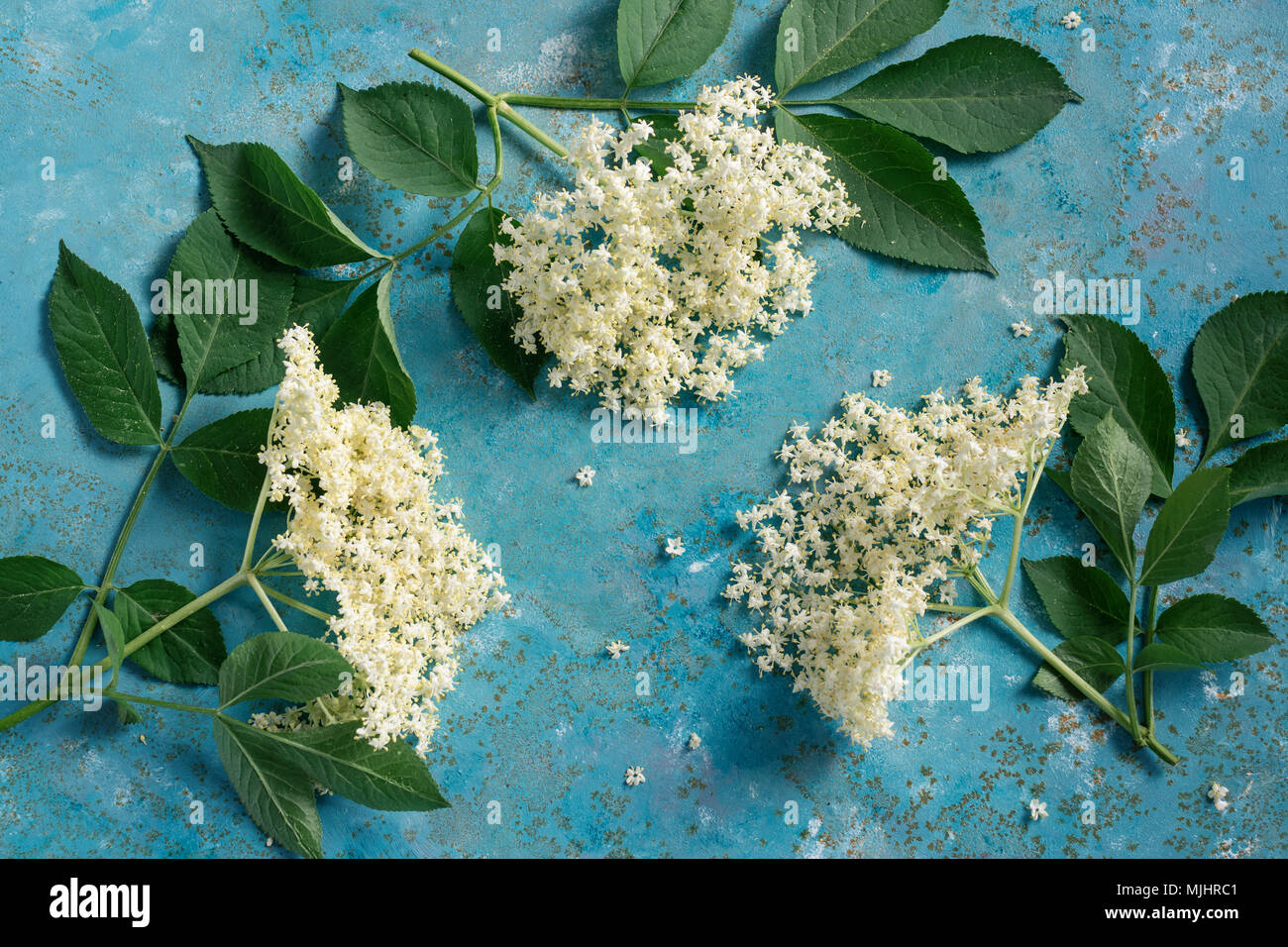 Elderflower blossom flower with green leaves. The flowers are edible and can be used to add flavour and aroma to both drinks and desserts. - Stock Image