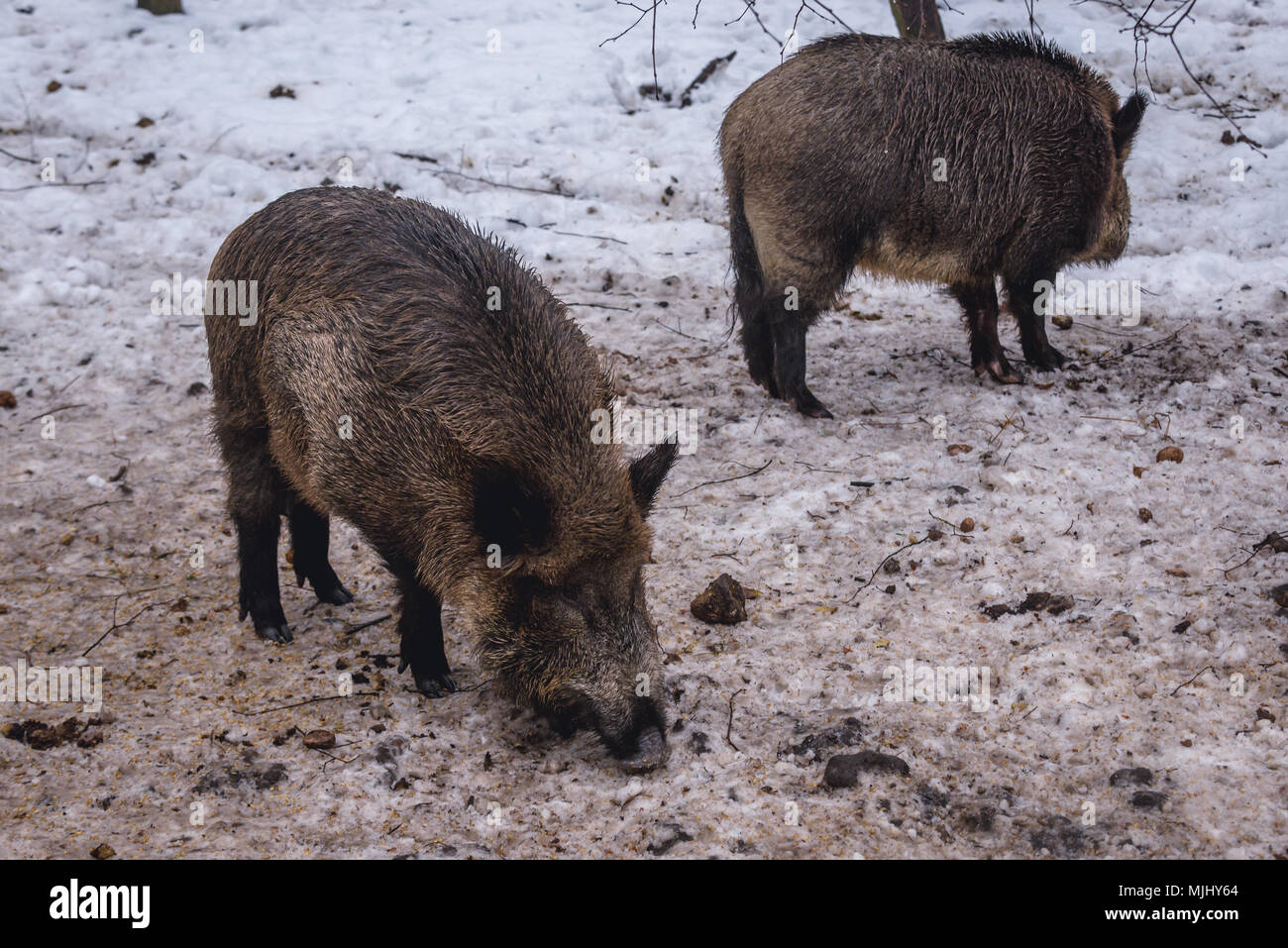 Wild boars in animal Show Reserve in Bialowieza village located in the middle of Bialowieza Forest, Podlaskie Voivodeship of Poland - Stock Image