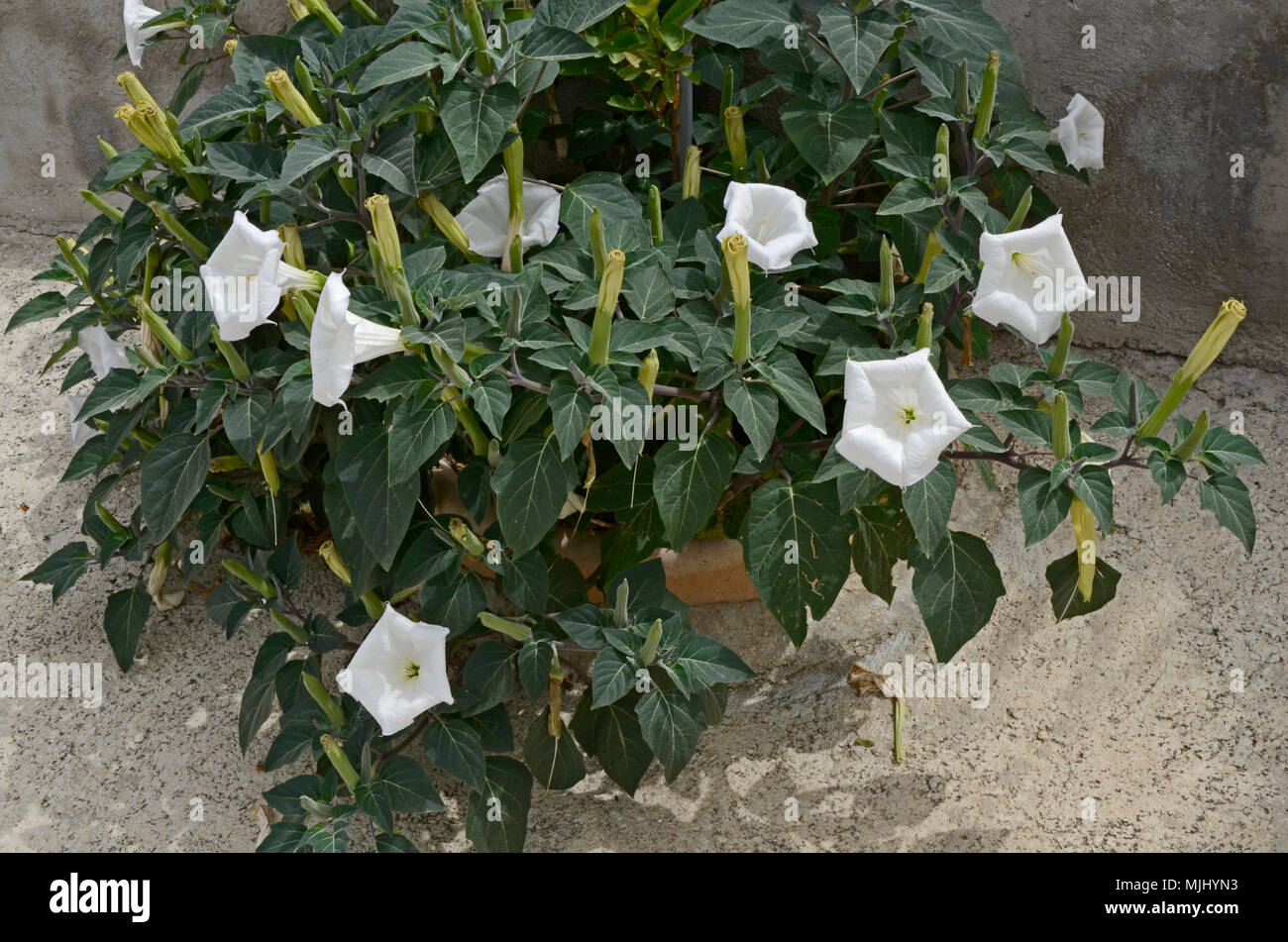 Close up white datura growing wild in the cyprus countryside stock close up white datura growing wild in the cyprus countryside mightylinksfo
