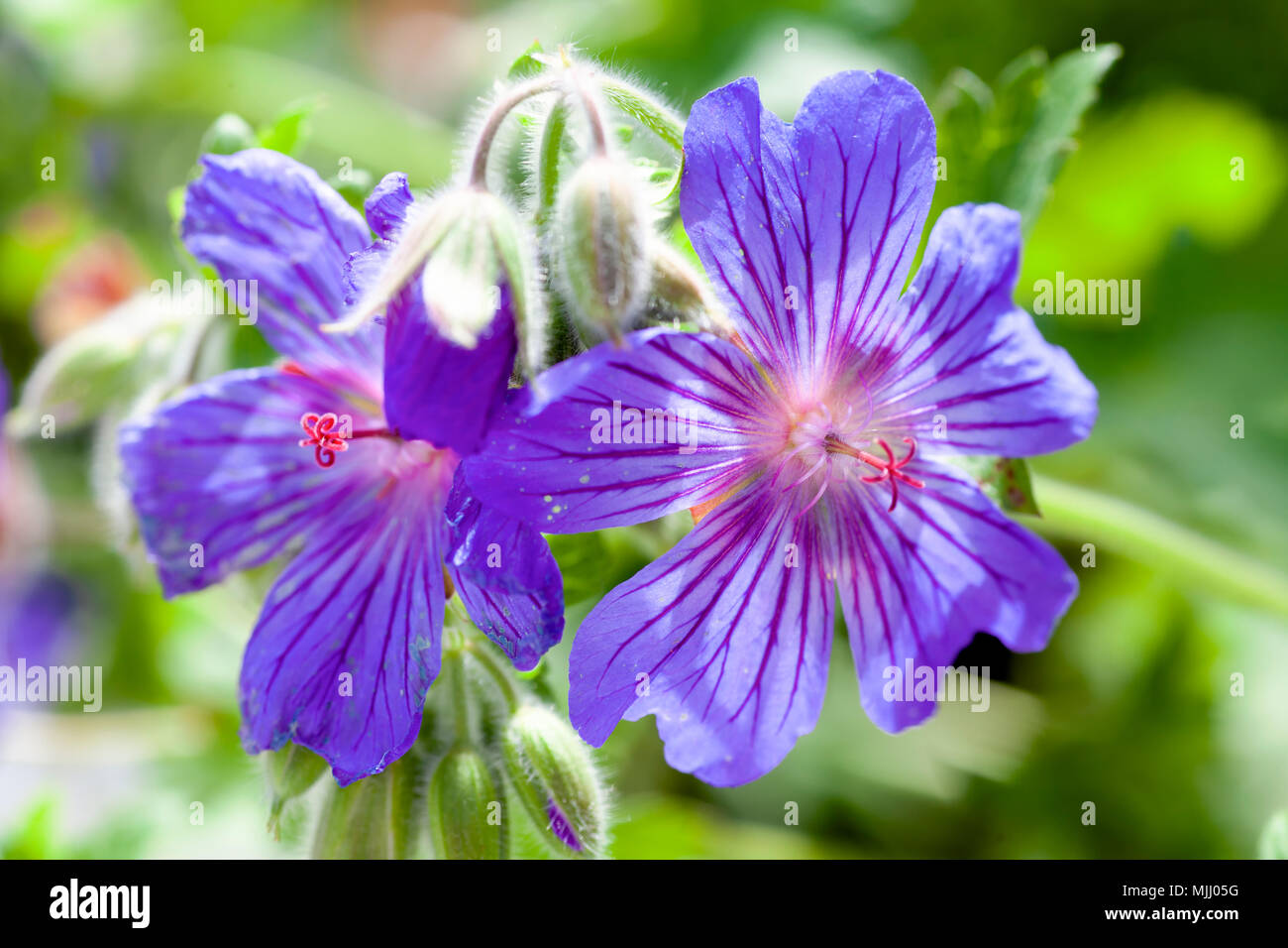 Macro view of cranesbill or hardy perennial geranium. - Stock Image
