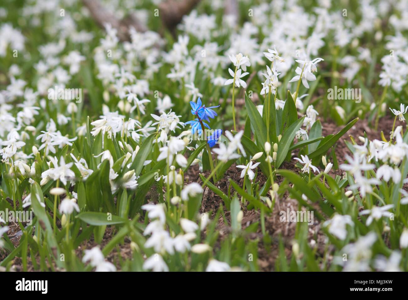 Single Bluebell Among Lots Of White Flowers And Grass In Spring