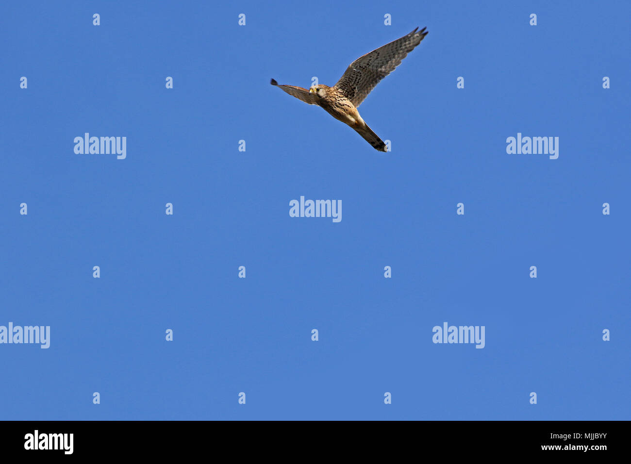 female kestrel Latin name falco tinnunculus with wings outstretched soaring upwards into the sky in late January in Italy - Stock Image