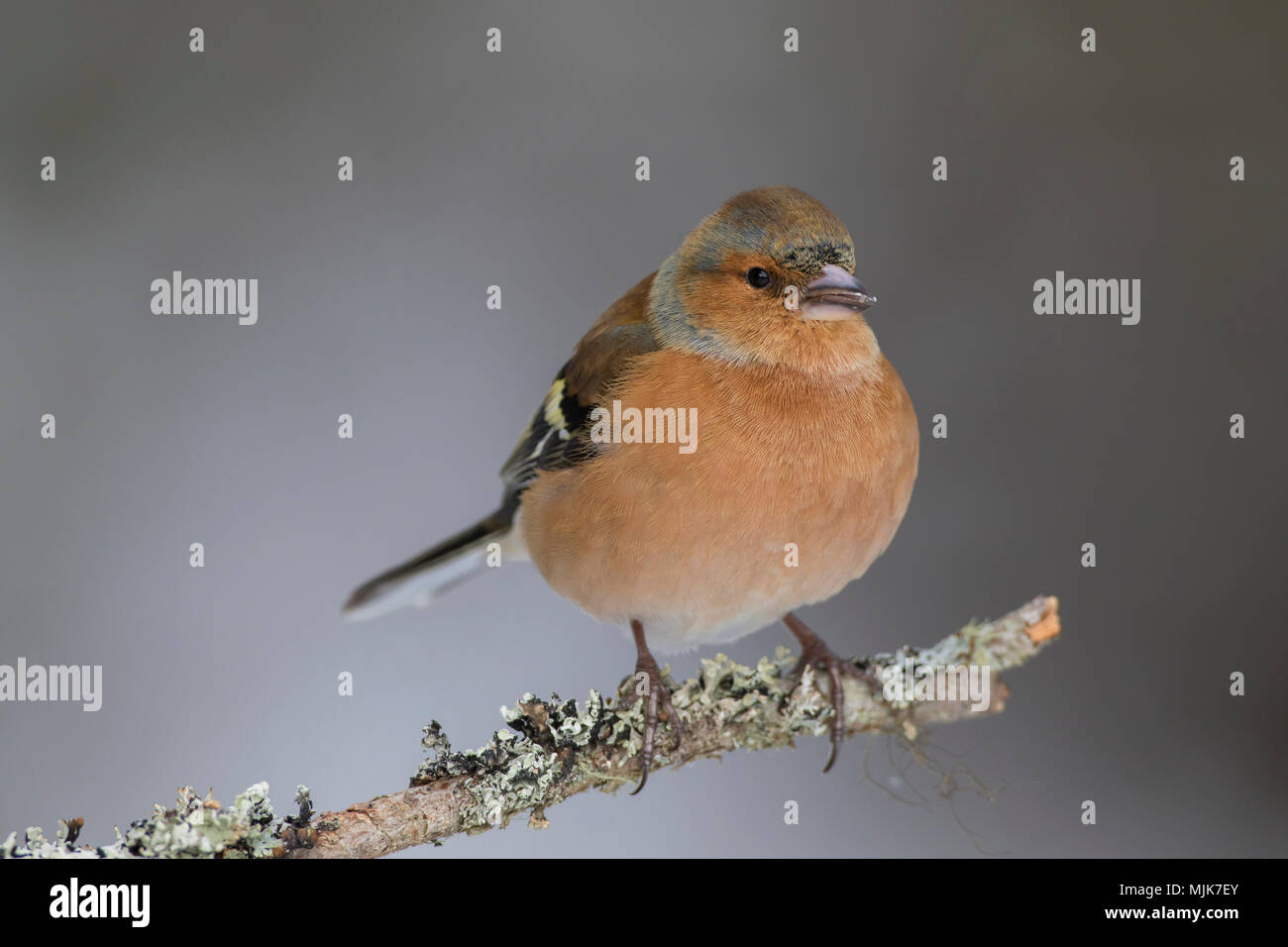 Common chaffinch (Fringilla coelebs) male perched on branch in winter - Stock Image