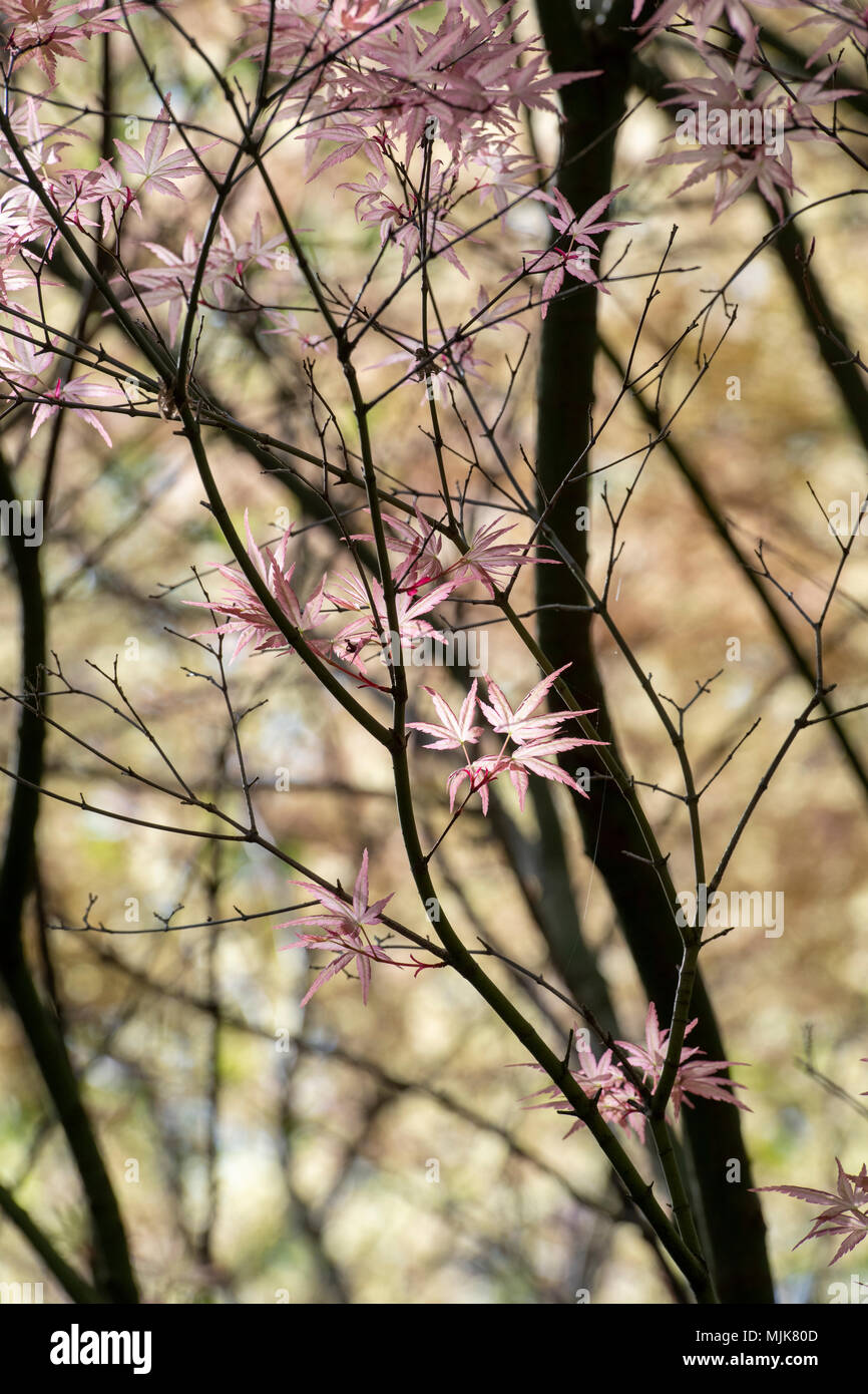 Pink Acer Tree Stock Photos Pink Acer Tree Stock Images Alamy