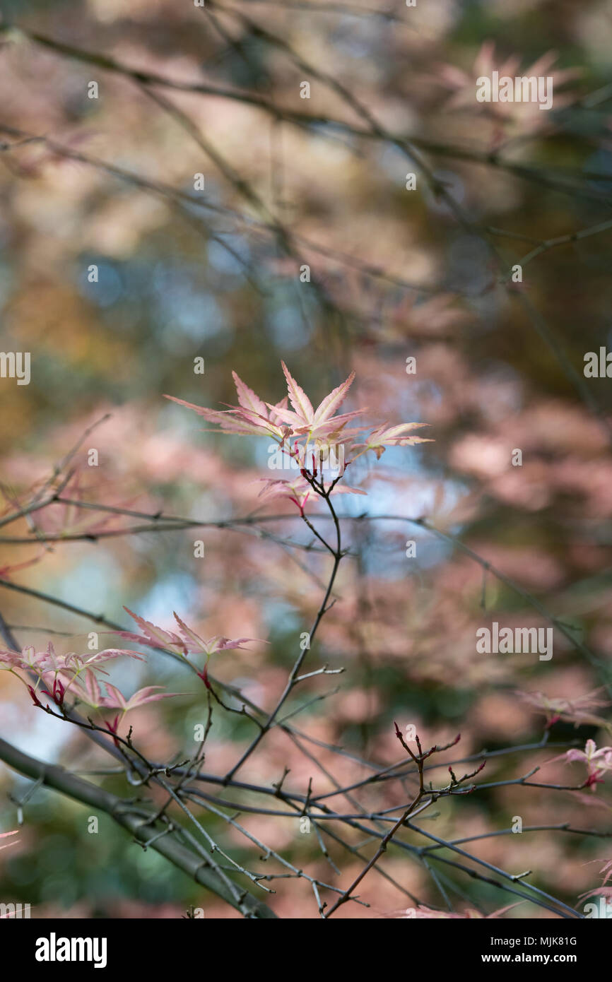 Acer Palmatum Beni Tsukasa Japanese Maple Beni Tsukasa Leaves
