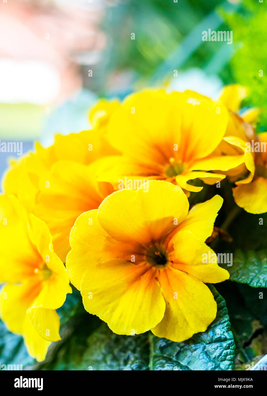 Beautiful blooming yellow primrose flowers in a galvanised flower pot on display outside a traditional country house in England, UK with conifers in t - Stock Image
