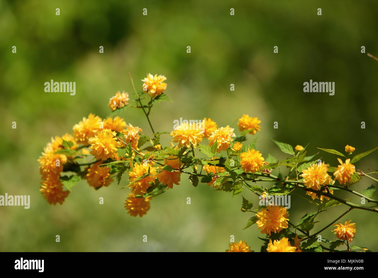 Yellow flowers on shrubs are a very popular color among various yellow flowers on shrubs are a very popular color among various types of plants mightylinksfo