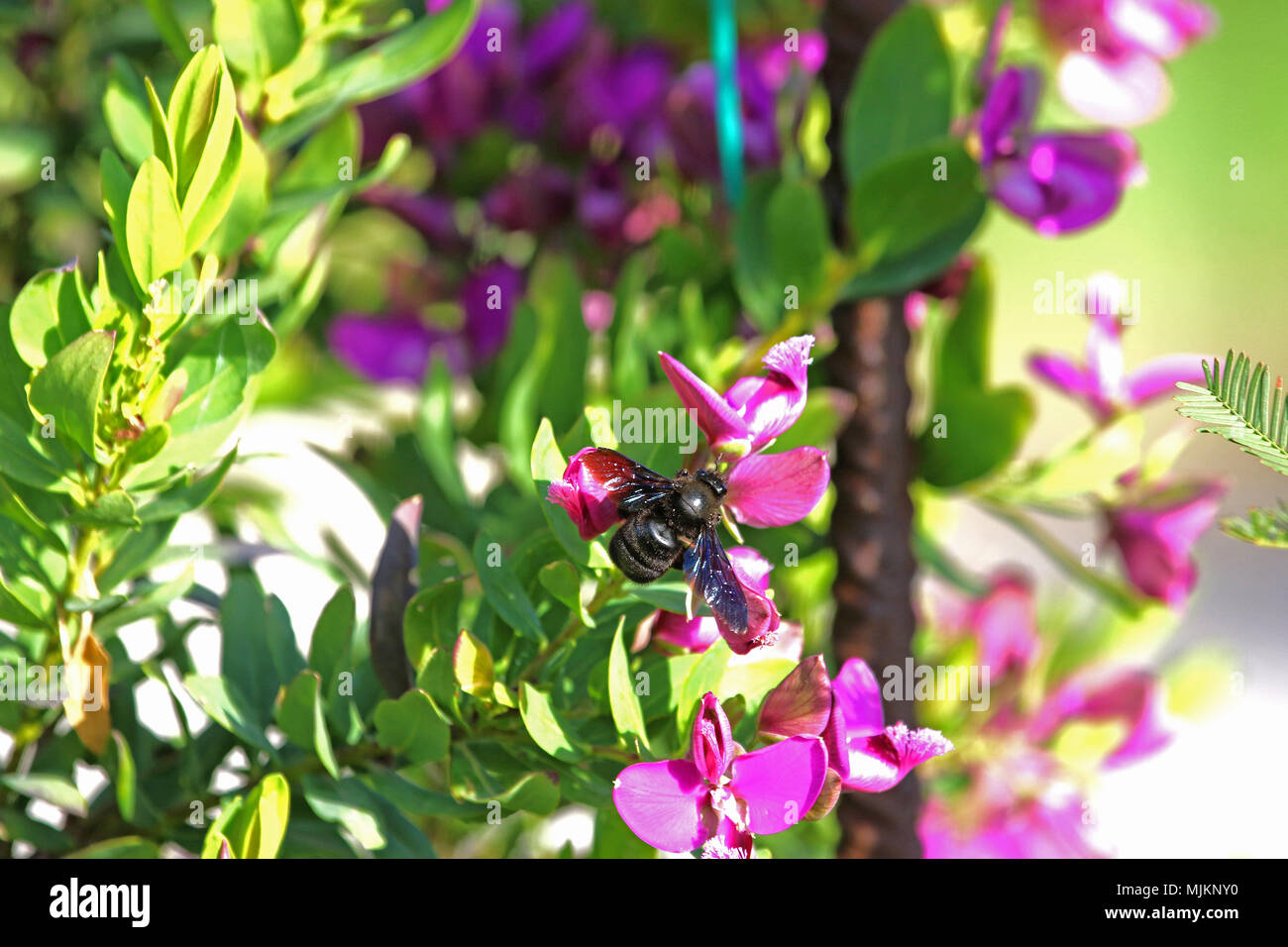 Carpenter Bee Latin Name Xylocopa Violacea Purple Polygala