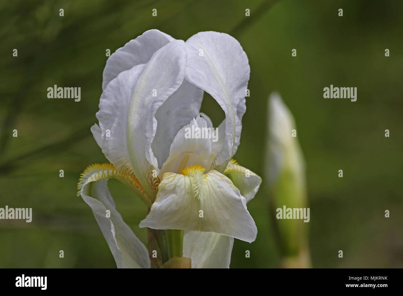 White Flag Iris Or Bearded Iris Flower Very Close To Latin Name