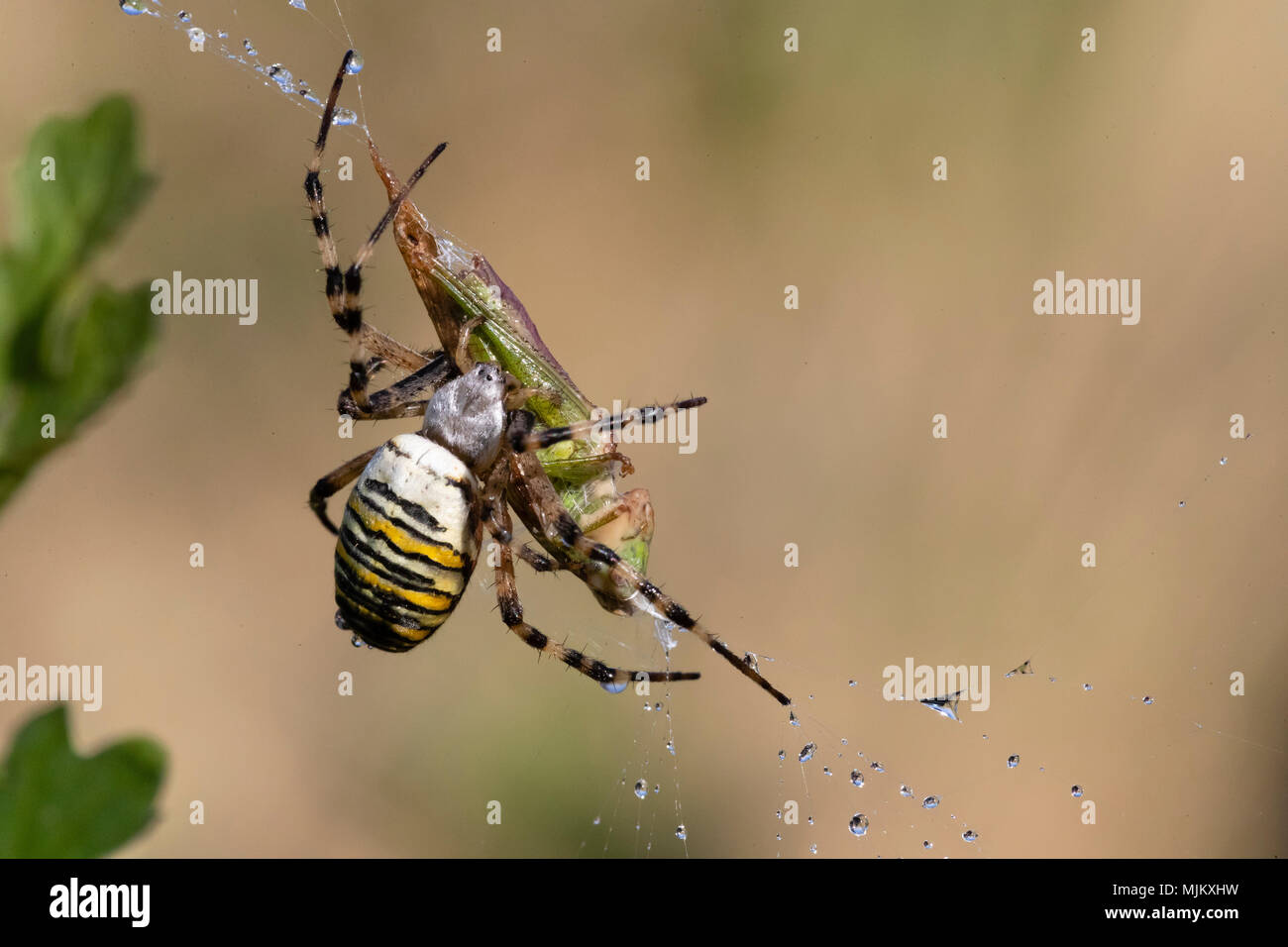 Marbled Orb Weaver Spider Uk Marbled Orb Weaver Spider