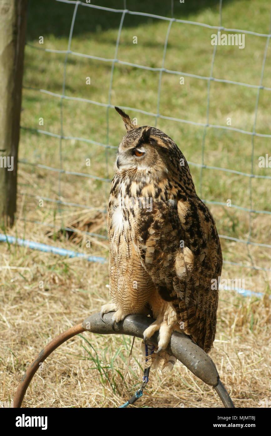 Hawk, Bird of prey Stock Photo