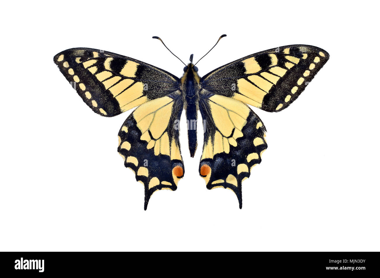 Old world swallowtail butterfly (Papilio Machaon), isolated on white background - Stock Image