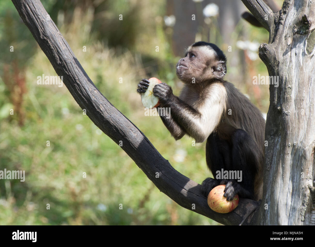 Tufted capuchin monkey sitting on branch holding an apple in its hands and another in one foot, looking upwards as though in prayer at Edinburgh Zoo - Stock Image