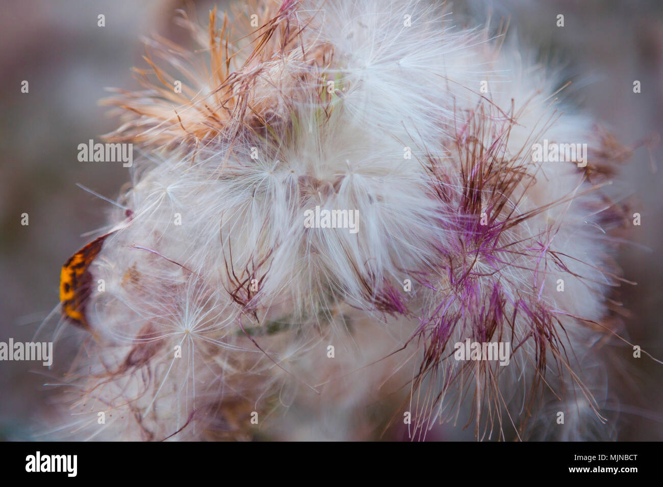 Dried thistle flower close-up. Close up of beautiful dry thistle flower in autumn, blurred background. Toned photo. - Stock Image