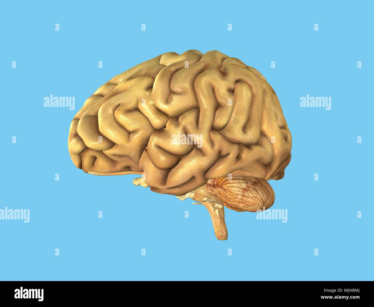 Human Brain - healthy - Stock Image