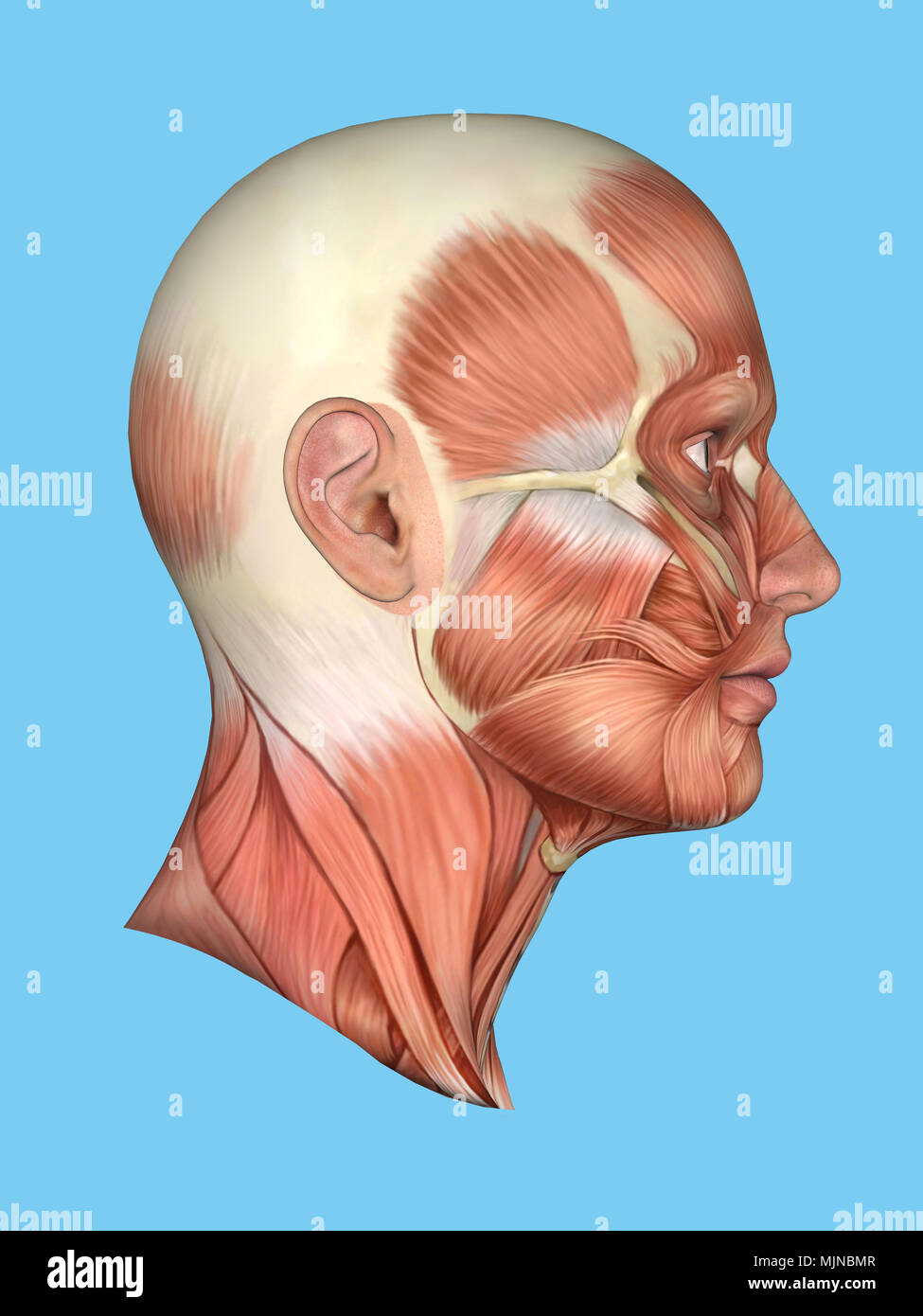 Anatomy Side View Of Face Stock Photo 183637687 Alamy