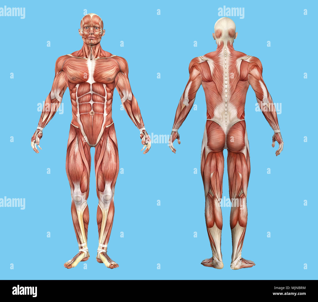 Front and Back View of Male Muscle Anatomy Stock Photo: 183637768 ...