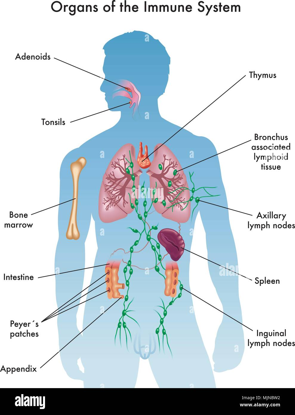 vector medical illustration of organs of the immune system - stock image