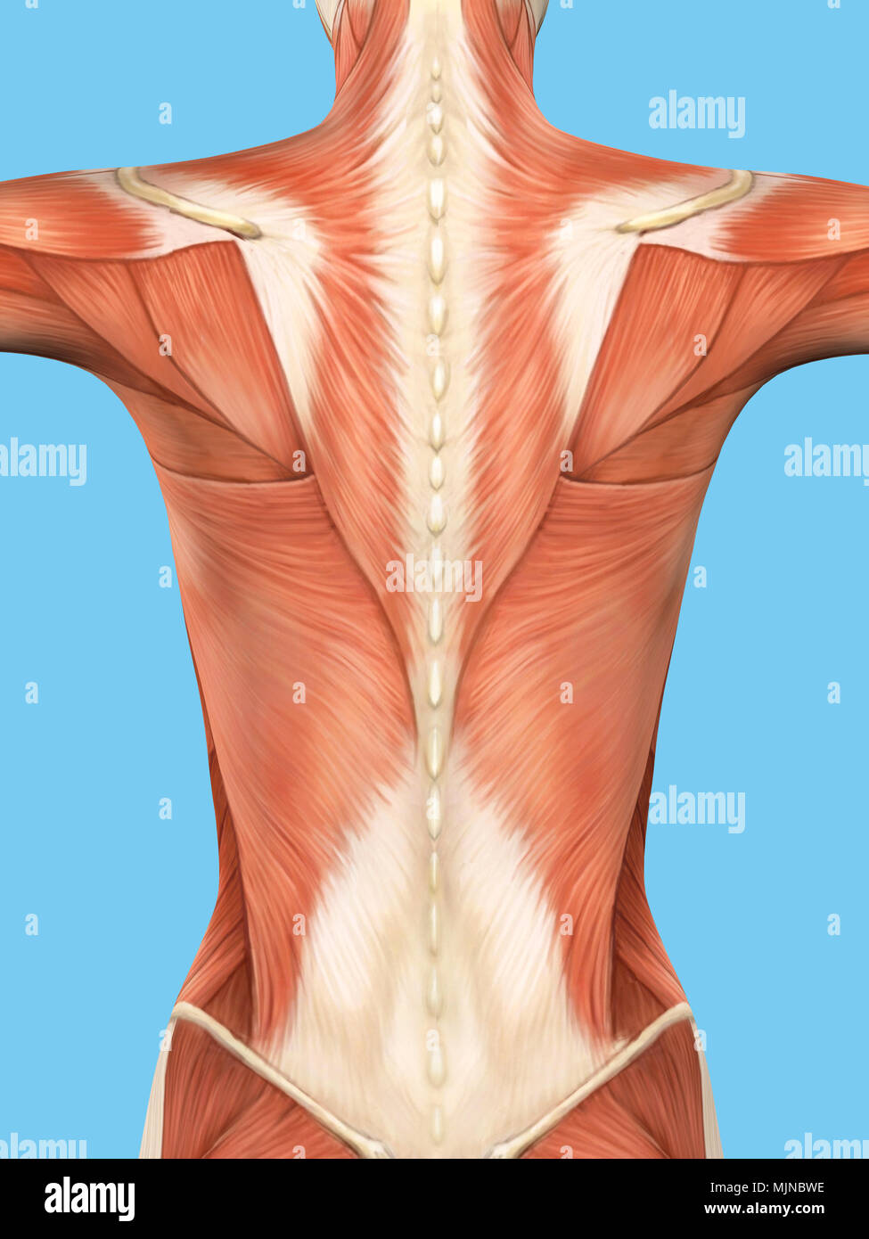 Anatomy Male Muscular Back View Stock Photos Anatomy Male Muscular