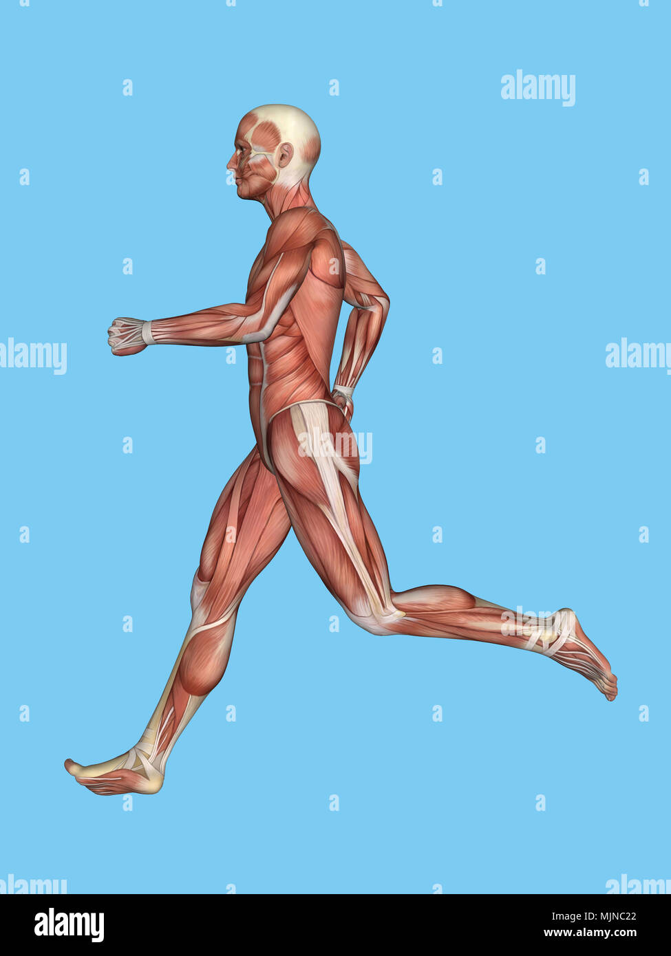 Muscles of Male Anatomy in Motion Stock Photo: 183637946 - Alamy