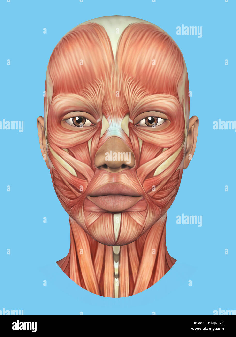 Anatomy Front View Of Major Face Muscles Of A Woman Stock Photo