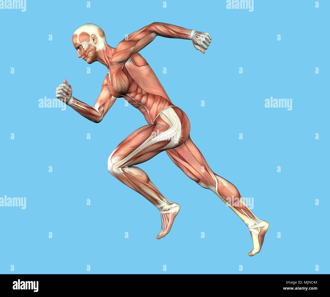 Muscles of Male Anatomy in Motion Stock Photo: 183638026 - Alamy