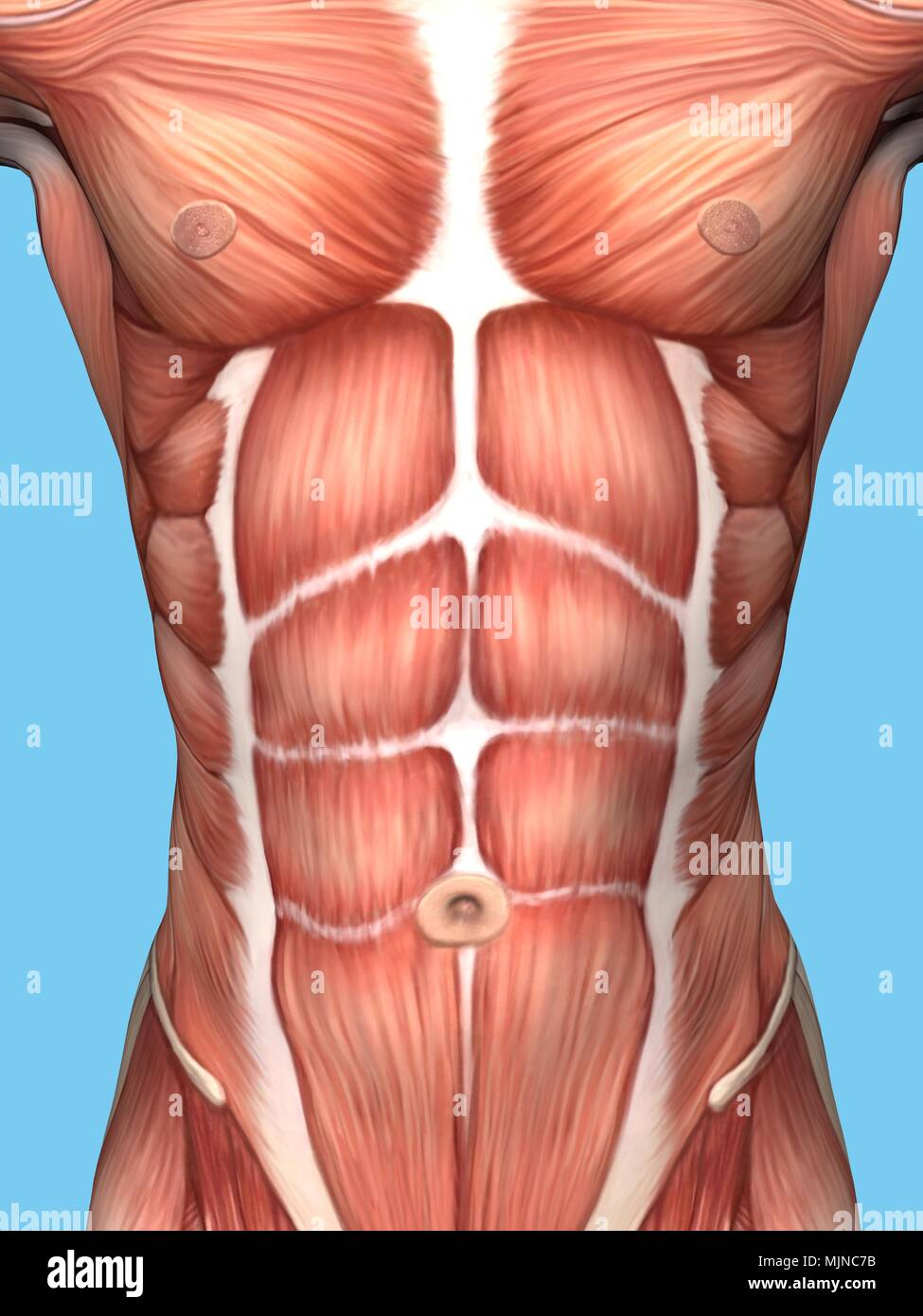 Anatomy Of Male Chest And Torso Featuring Major Muscular Groups