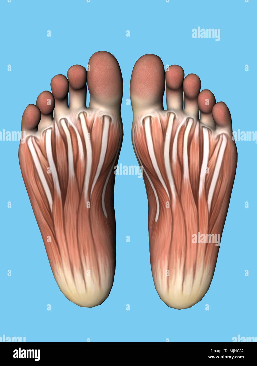 Anatomy bottom view of foot Stock Photo: 183638170 - Alamy