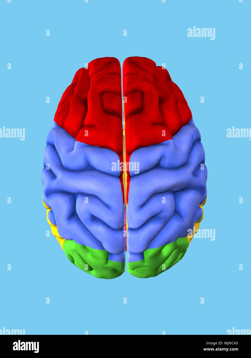 Regions of the Brain - Stock Image