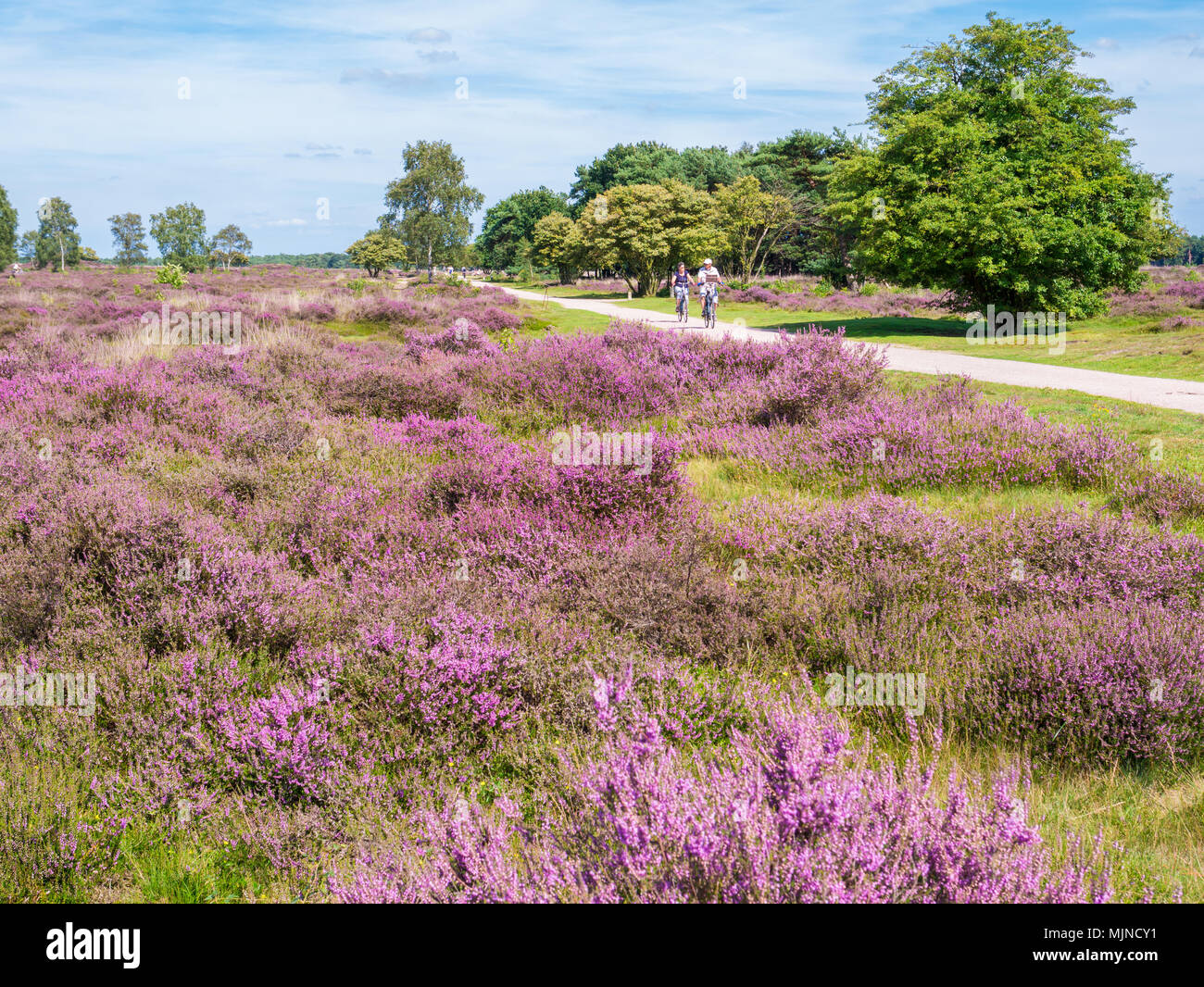 Active people riding bicycle on path through purple blooming heather on South Heath near Hilversum, Gooi, Netherlands Stock Photo