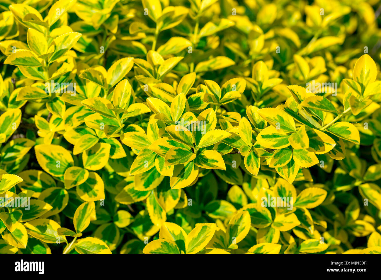 Bright Yellow Green Leaves Of Euonymus Fortunei Emerald N Gold Background Selective Focus