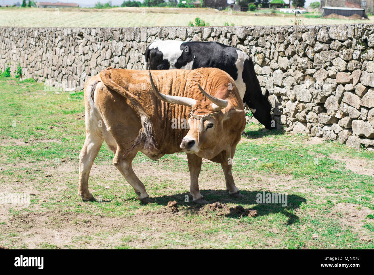 vaca mirandesa, portuguese species of cows in the farm - Stock Image