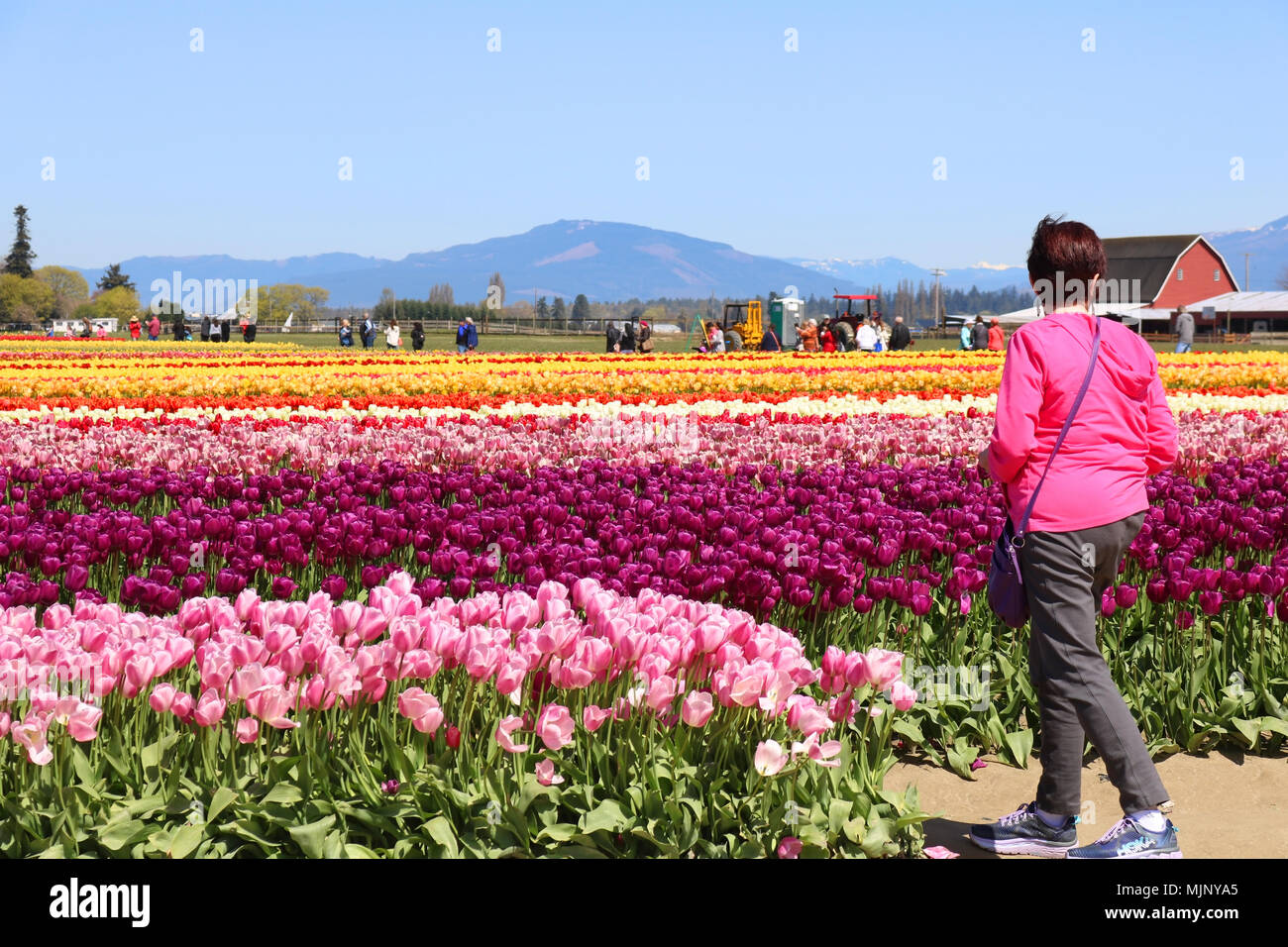 A woman standing in front of a field of tulip flowers looking at the flowers and barn.  The woman appears to be alone.  There are tourist in the backg Stock Photo
