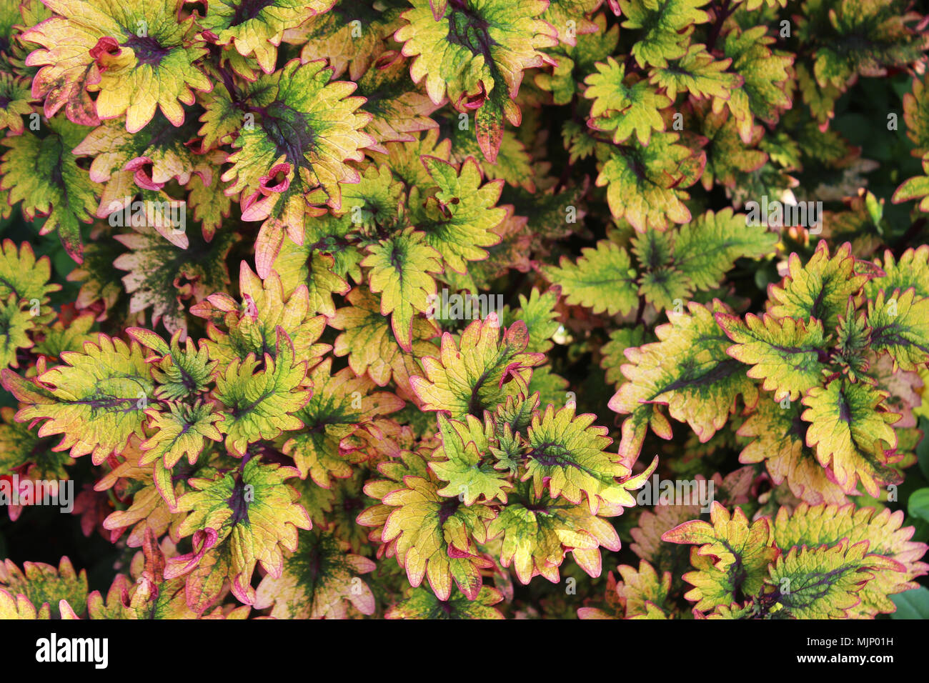 Close up of serrated plant leaves, green leaves with pink edging and purple center - Stock Image
