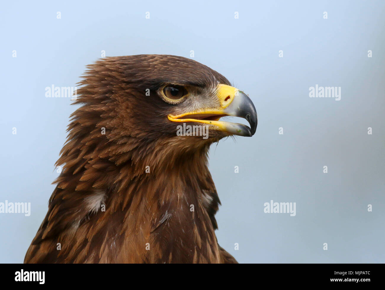 Portrait Of An African Tawny Eagle Aquila Rapax Stock Photo Alamy