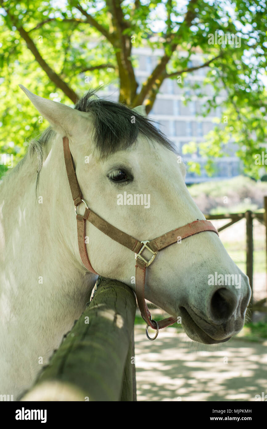 White horse in portuguese farm - Stock Image