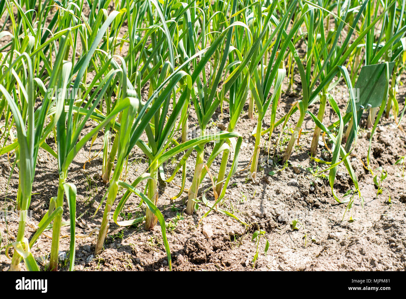 Garlic in agriculture field, in Portugal - Stock Image