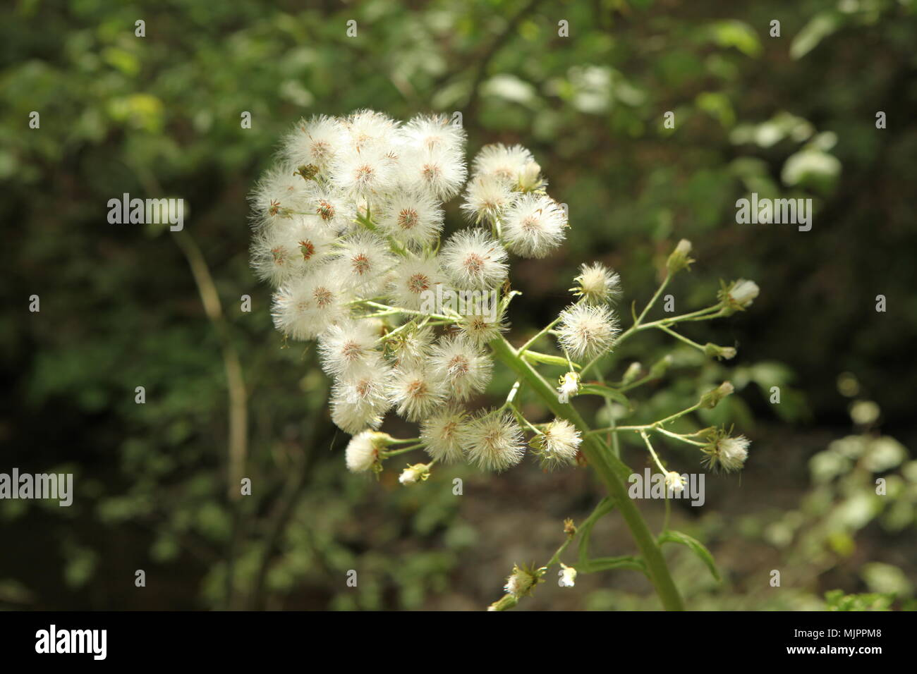 white flower on a twig - Stock Image